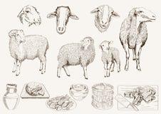 Het fokken van schapen Royalty-vrije Stock Foto's