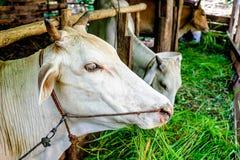 Het fokken van vee en vee stock fotografie