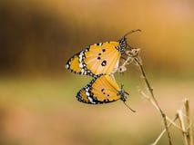 Het fokken van vlinder stock afbeelding
