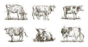 Het fokkenkoe reeks vectorelementen vee Stock Foto