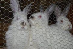 Het fokkenkonijnen, konijnen in kooi Stock Afbeeldingen
