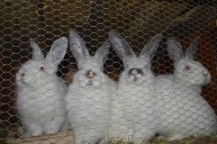 Het fokkenkonijnen, konijnen in kooi Royalty-vrije Stock Afbeeldingen