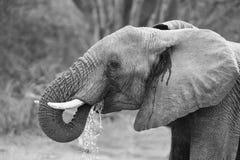 Het fokkenkudde van olifants drinkwater bij een kleine vijver stock afbeelding