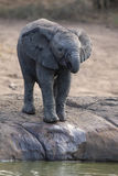 Het fokkenkudde van olifants drinkwater bij een kleine vijver royalty-vrije stock foto