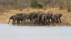 Het fokkenkudde van olifants drinkwater bij een waterdam royalty-vrije stock fotografie