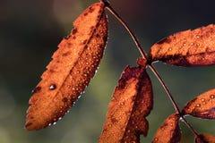 Het fonkelen dalingen op de herfstblad stock foto