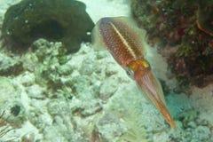Het fonkelen pijlinktvis Stock Afbeeldingen