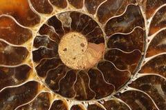 Het Fossiel van de ammoniet Royalty-vrije Stock Foto's