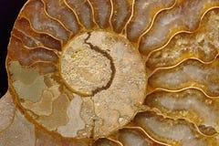 Het fossiel van de ammoniet Stock Foto's