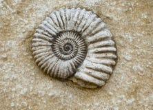 Het fossiel van de ammoniet in steen Stock Fotografie