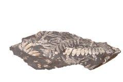 Het Fossiel van de varen royalty-vrije stock foto