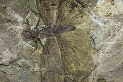 Het fossiel van het insect Stock Foto's