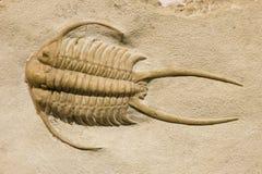Het fossiel van Trilobite met doornen Royalty-vrije Stock Foto's