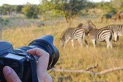 Het fotograferen van het wild, Zuid-Afrika Stock Afbeeldingen
