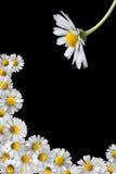 Het frame van Daisy Royalty-vrije Stock Foto