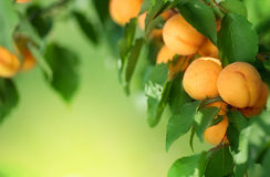 Het frame van de abrikoos stock fotografie
