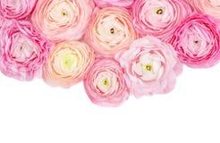 Het frame van de bloem Roze die ranunculus bloemen op een witte achtergrond worden ge?soleerd De zomer bloemenconcept stock foto's