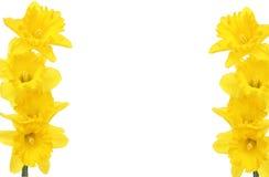 Het frame van de gele narcis stock foto's