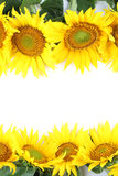 Het frame van de zonnebloem Royalty-vrije Stock Foto