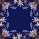 Het frame van Pasqueflower op donkerblauwe achtergrond. Stock Afbeelding