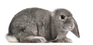 Het Frans snoeit konijn, 2 maanden oud, Oryctolagus royalty-vrije stock foto's