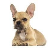 Het Franse Buldogpuppy geïsoleerd liggen, stock fotografie