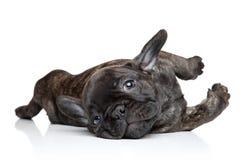Het Franse buldogpuppy rusten Stock Afbeeldingen