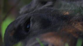 Het Franse oog van de herdershond stock footage