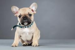 Het Franse Puppy dat van de Buldog de Kraag van het Bergkristal draagt Royalty-vrije Stock Afbeeldingen