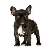 Het Franse puppy van de Buldog Royalty-vrije Stock Afbeeldingen