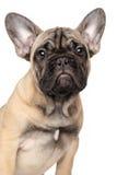 Het Franse Puppy van de Buldog Stock Foto's