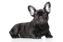 Het Franse Puppy van de Buldog Stock Fotografie