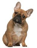 Het Franse puppy van de Buldog, 5 maanden oud Stock Afbeeldingen