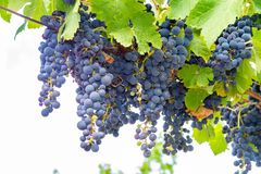 Het Franse rood en nam wijndruiven plant, eerste nieuwe oogst van wijndruif in Frankrijk, AOP van Costieres DE Nîmes domein of ch stock foto