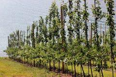 Het fruit tuiniert in Lofthus, dichtbij de Hardanger-fjord, Hordaland-provincie, Noorwegen stock foto