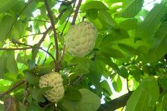 Het fruit van Annona Royalty-vrije Stock Fotografie