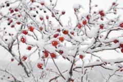 Het fruit van Briars in sneeuw wordt behandeld die Royalty-vrije Stock Foto's
