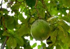 Het fruit van citrusvruchtenmaxima royalty-vrije stock afbeeldingen