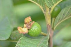 Het fruit van de babyguave op boom met groene bladeren Stock Foto
