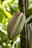 Het fruit van de cacao Stock Foto's