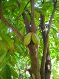 Het fruit van de cacao Stock Afbeeldingen