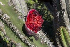 Het fruit van de cactus Stock Foto