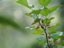 Het fruit van de close-upmoerbeiboom in de tuin stock foto