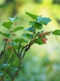 Het fruit van de close-upmoerbeiboom in de tuin royalty-vrije stock afbeeldingen
