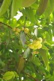 Het fruit van de djamboevrucht van Thailand Stock Afbeelding