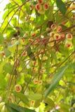 Het fruit van de djamboevrucht van Thailand. Stock Foto