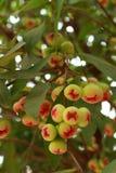 Het fruit van de djamboevrucht van Thailand Royalty-vrije Stock Afbeeldingen