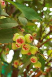 Het fruit van de djamboevrucht van Thailand Royalty-vrije Stock Fotografie