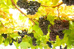 Het fruit van de druif op boom, Wijngaarden Stock Afbeelding
