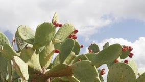 Het fruit van de fig.cactus in openlucht in de zon stock footage